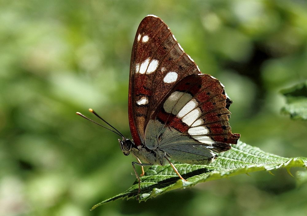 Limenitis reducta_SG