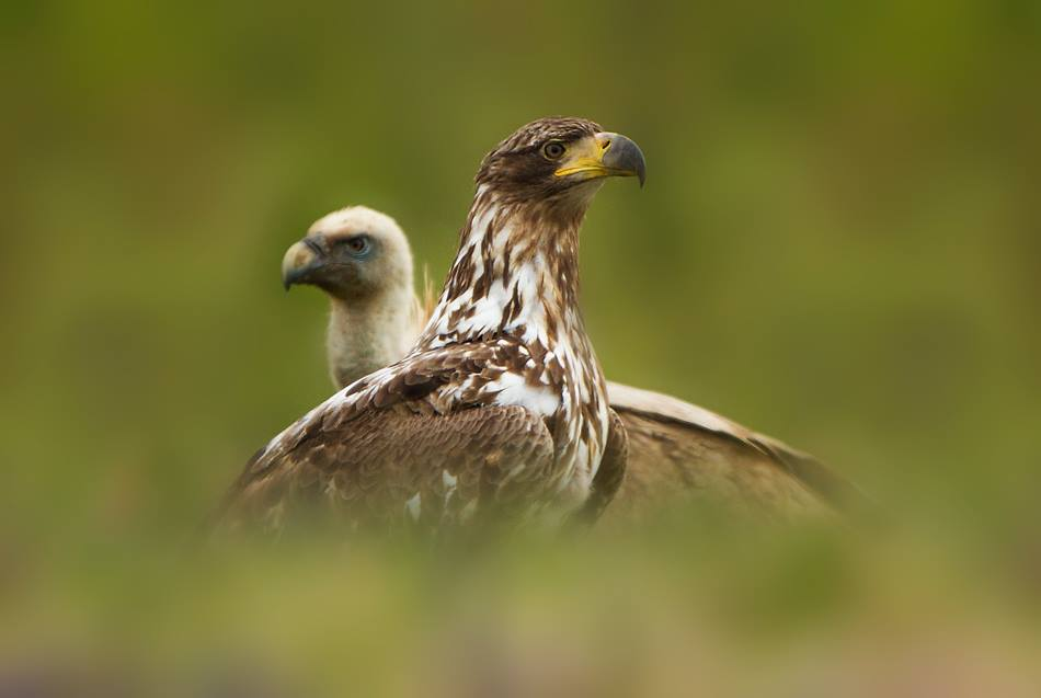 White-tailed Eagle and Eurasian Griffon Vulture