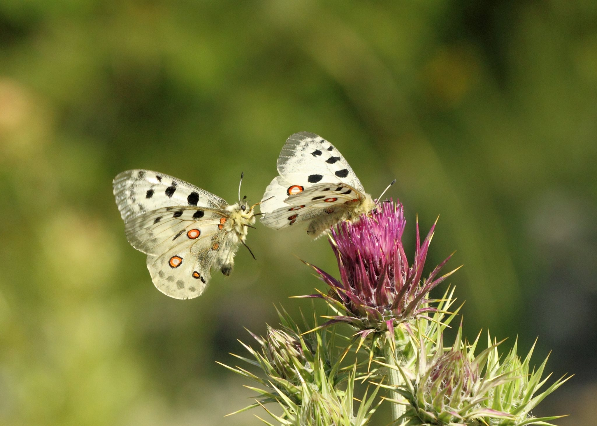 Mating Apollos (Parnassius apollo) in the mountains of Bulgaria