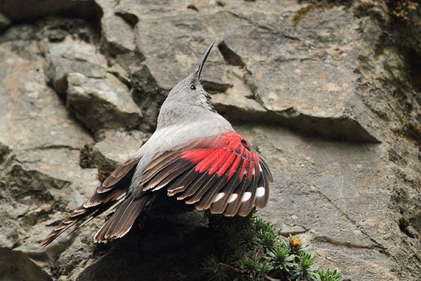 Wallcreeper by Mladen Vasilev