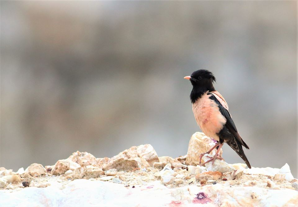 Rose-coloured Starling (Pastor roseus) by Dimiter Georgiev