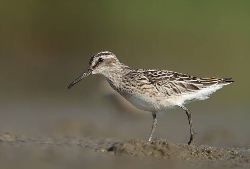 Broad-billed Sandpiper by Mladen Vasilev