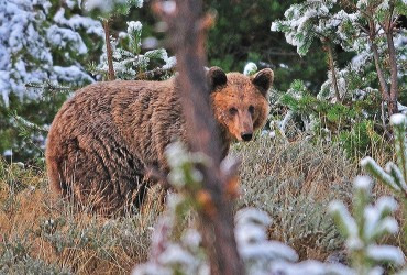 Brown Bear_Daniel Ray_r