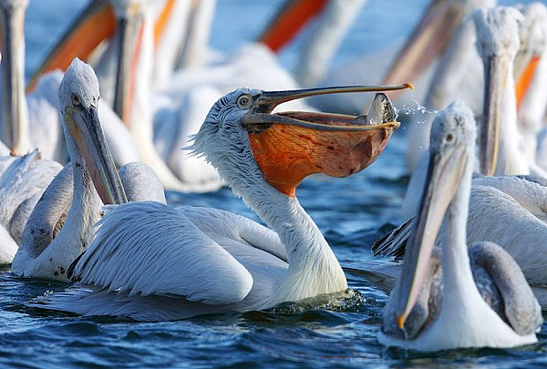 Dalmatian Pelican by Mladen Vasilev