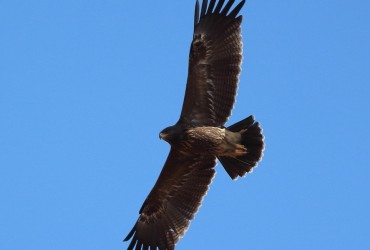 Lesser Spotted Eagle by Dimiter Georgiev