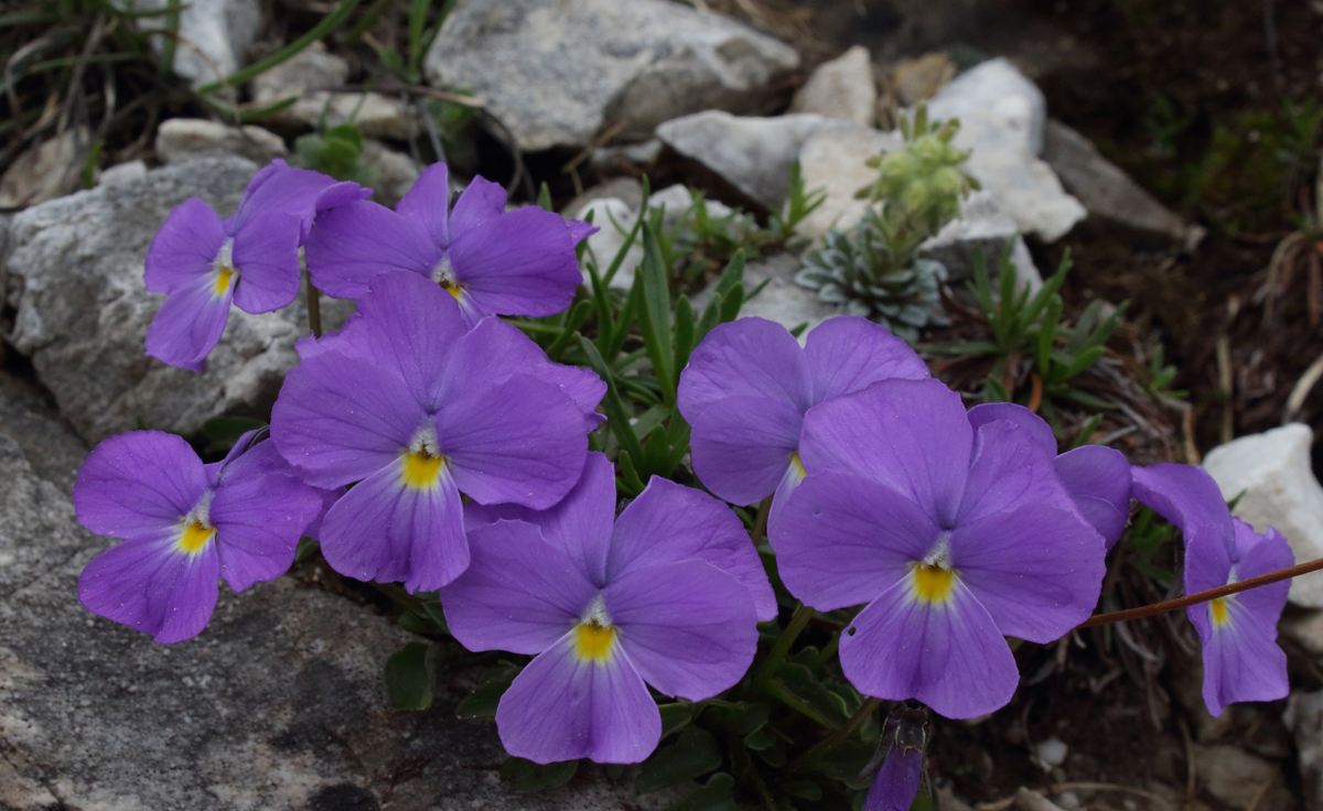 Viola pirenaica_presentation