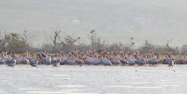 White Pelicans at Kerkini Lake by Dimiter Georgiev