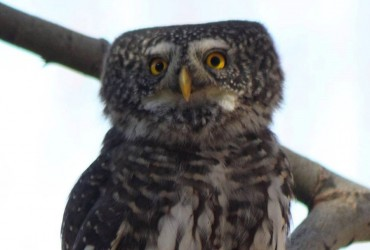 Pygmy Owl by Simeon Gigov