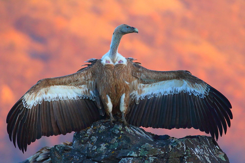 Eurasian Griffon Vultures by Dimiter Georgiev
