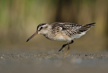 Broad-billed Sandpiper by Dimiter Georgiev